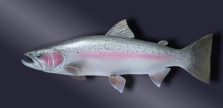 Steel Head Trout